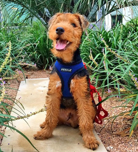 Zoro the Welsh Terrier Pictures 1031733