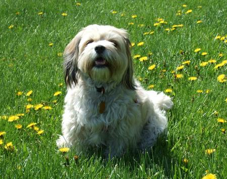 Amy the Cavachon Pictures 12772