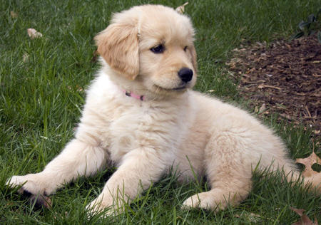 Sophia the Golden Retriever  Pictures 12799