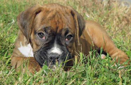 Zeus the Boxer Pictures 135904