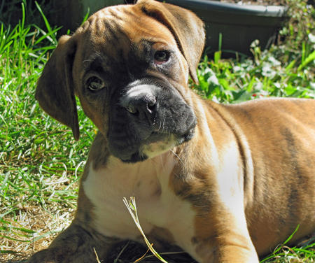 Zeus the Boxer Pictures 135900