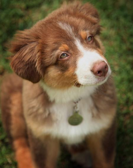 Tucker the Australian Shepherd Pictures 120236