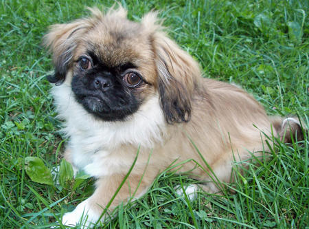 Noot the Pekingese Pictures 123662