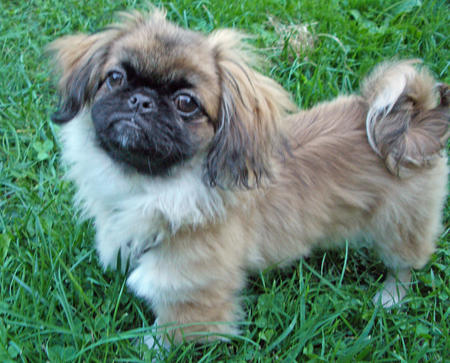 Noot the Pekingese Pictures 123660