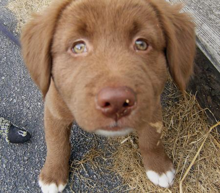 chocolate lab husky mix - photo #15