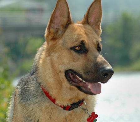 Moeger Joe the German Shepherd Pictures 123560