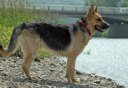 Moeger Joe the German Shepherd Pictures 123561