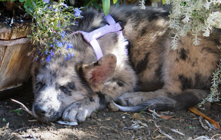 Sassie the Shepherd Mix Pictures 124187