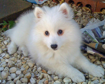 Akira the Japanese Spitz Pictures 129251