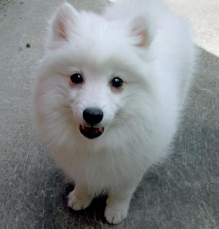 Akira the Japanese Spitz Pictures 129250