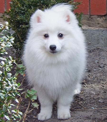 Akira the Japanese Spitz Pictures 129249