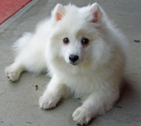 Akira the Japanese Spitz Pictures 129247