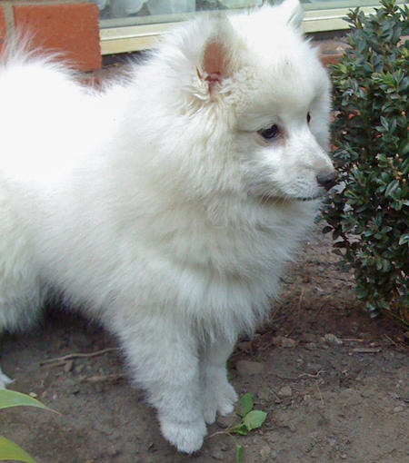 Akira the Japanese Spitz Pictures 129246