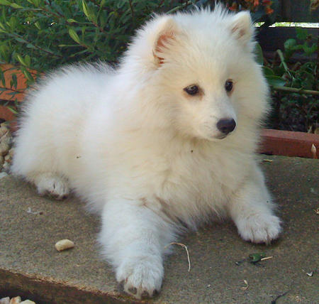 Akira the Japanese Spitz Pictures 129243