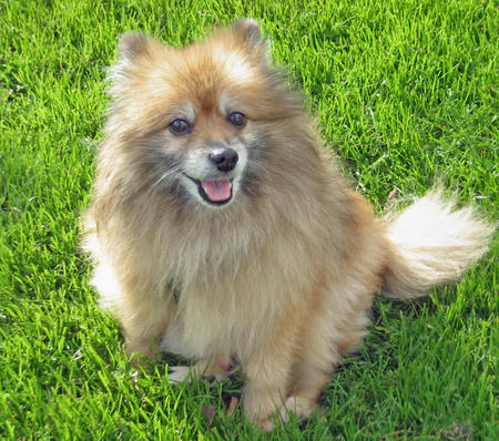 Meat Ball the Pomeranian Pictures 229521
