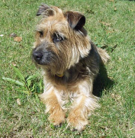 Boogie the Border Terrier Mix Pictures 129163
