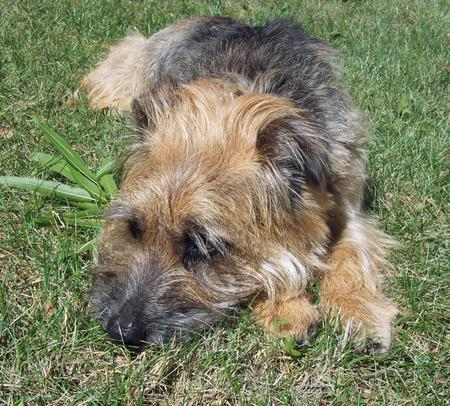 Boogie the Border Terrier Mix Pictures 129162