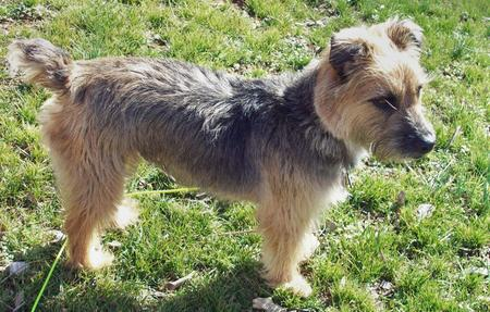 Boogie the Border Terrier Mix Pictures 129161