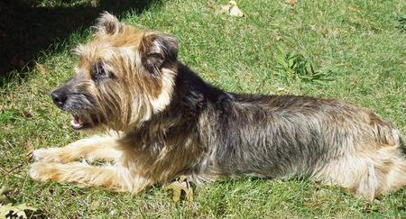 Boogie the Border Terrier Mix Pictures 129160
