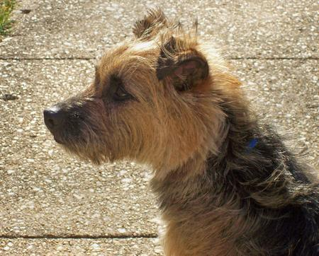 Boogie the Border Terrier Mix Pictures 129159