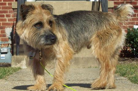Boogie the Border Terrier Mix Pictures 129158