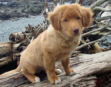 Chester the Duck Tolling Retriever Pictures 129193