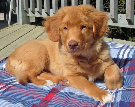 Chester the Duck Tolling Retriever Pictures 129192