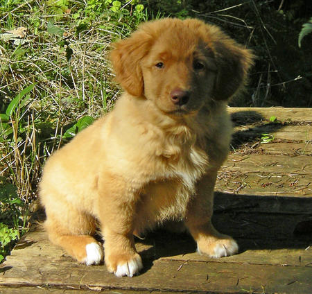 Chester the Duck Tolling Retriever Pictures 129191