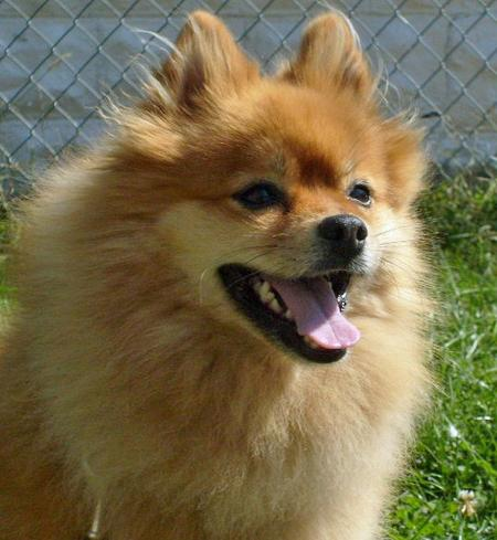 Courage the Pomeranian Pictures 131519