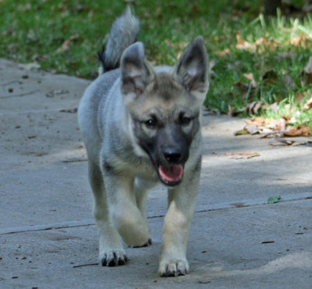 Bergen the Norwegian Elkhound Pictures 131031