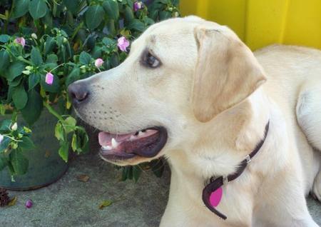 Bohdie the Labrador Retriever Pictures 234449