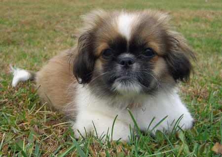 Lulu the Pekingese Pictures 154299