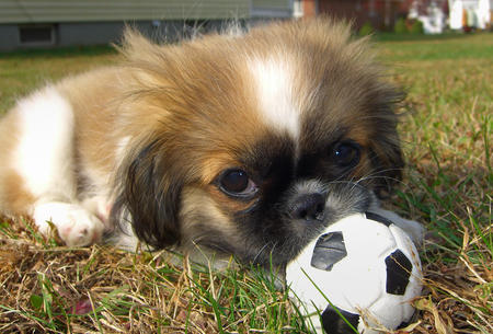 Lulu the Pekingese Pictures 154298