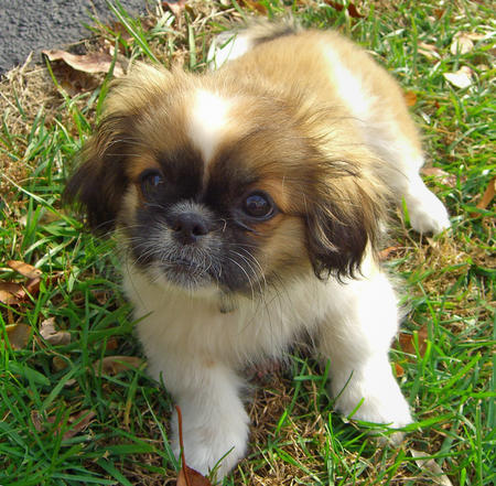 Lulu the Pekingese Pictures 154290