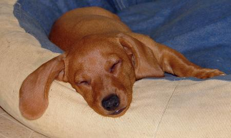 Tank the Dachshund Pictures 135623