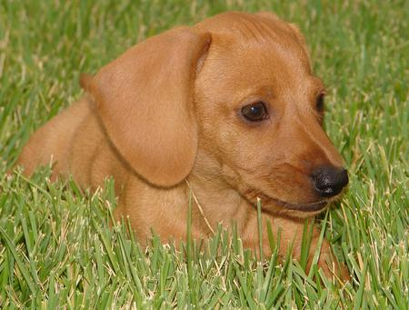 Tank the Dachshund Pictures 135621