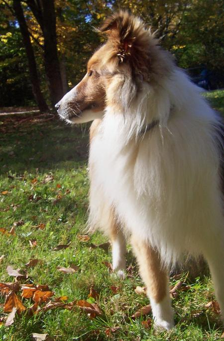 Max the Shetland Sheepdog Pictures 136773