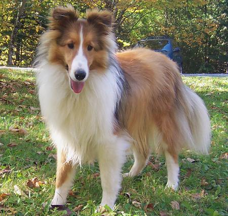 Max the Shetland Sheepdog Pictures 136770