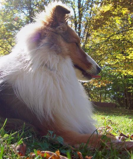 Max the Shetland Sheepdog Pictures 136771