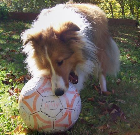 Max the Shetland Sheepdog Pictures 136769