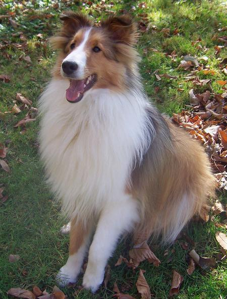 Max the Shetland Sheepdog Pictures 136767