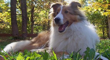 Max the Shetland Sheepdog Pictures 136766