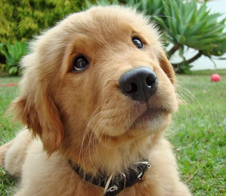 Pics Puppies on Lovely Pets  Golden Retriever Puppies Pictures   Gp01