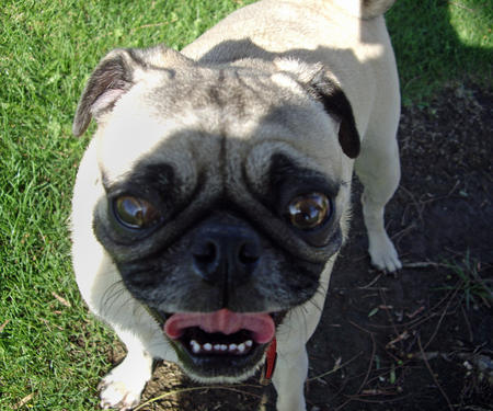 Monti the Pug Pictures 162067