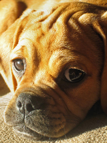 Chloe the Puggle Pictures 142015