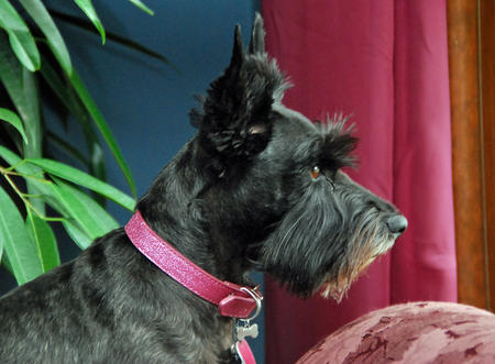 Bella Rose the Scottish Terrier Pictures 143067