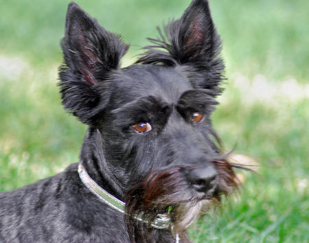 Bella Rose the Scottish Terrier Pictures 143066