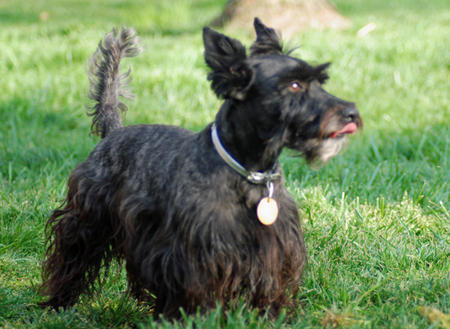 Bella Rose the Scottish Terrier Pictures 143062