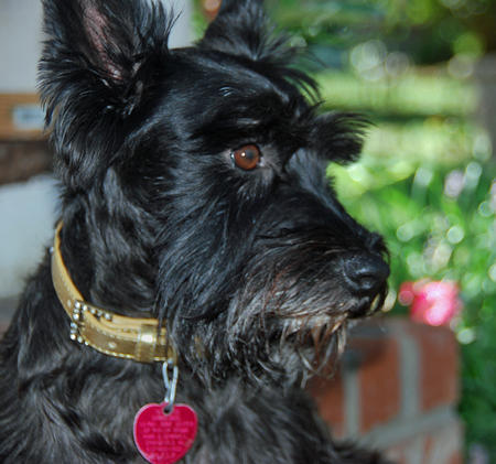 Bella Rose the Scottish Terrier Pictures 143065