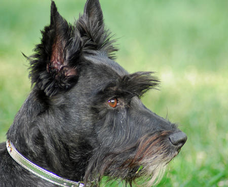 Bella Rose the Scottish Terrier Pictures 143063